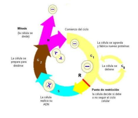 ciclo célula